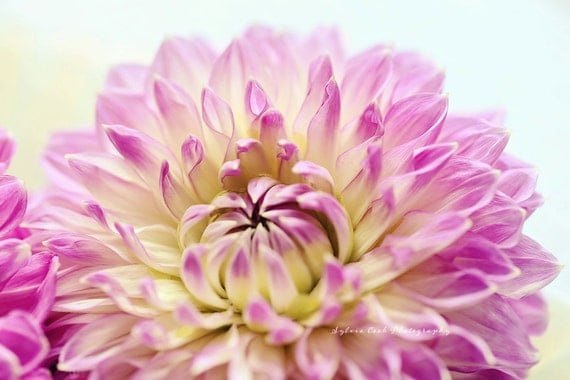 Dahlia photograph,pink,shabby chic, fine art print, floral photography, nature,cottage decor