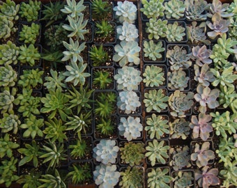 "ItsBees 6 Month Succulent of the Month Club Membership - Live 3"" Succulents - Wedding, Shower, Gift, Home, Garden - FREE SHIPPING"