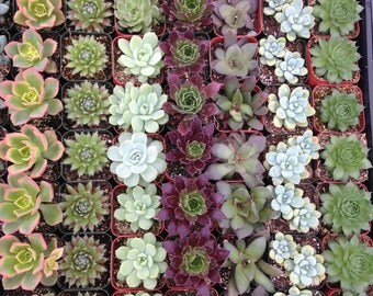 3 Succulents, Great For Terrarium Projects, Centerpieces, Weddings, Container Gardens, Home Decor