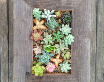 RUSTIC Living Wall Kit, Succulents, Rectangle,  Seen In PEOPLE, The Chicago Tribune, Soil, Moss, Cuttings To Get Started, Housewarming  Gift