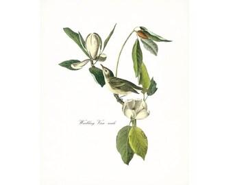 Audubon Vintage Bird Print,  Giclee Print, Warbling Vireo