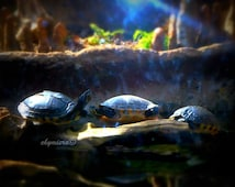 "Nature Art Photography Giclée Print. Resting Sea Turtles Still Life Aquatic Marine Animals. ""Basking"""