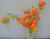 Dried Chinese Lantern seed pods and stems. Halloween . Physalis alkekengi plants, for crafts and arrangements LOT C