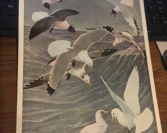 Circa 1915 Plate 6 sabine gull laughing gull, bonaparte gull, ivory gull and kitiwake gull. 7x11 approx. print image