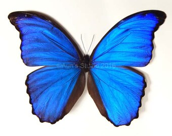 Blue morpho butterfly - Open wings - Ready Spread butterfly - Real Butterfly specimen
