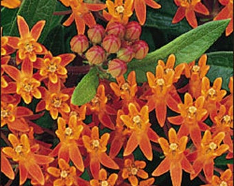 ASCLEPIAS TUBEROSA-Butterflyweed-(3) Starter Plants Organically Grown!