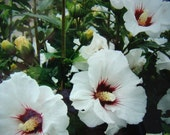 Perennial PLANTS - Rose of Sharon Bush - WHITE