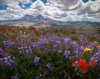 Wildflower Eruption (Mount Saint Helens, Washington)
