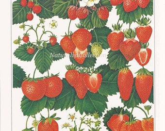 Fruit Print 1991 Vintage Art Original Book Plate 31 Beautiful Red Strawberry Plant Chart Berries Kitchen Dining Living Room Decor to Frame