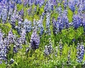 Field of Lupine in Summer, Color Print 8x10, Mountain Nature Photo
