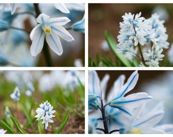 Blue spring flower, Nature photography, Puschkinia, Flower print, Blue Bedroom wall art, Set of 4 prints, Abstract nature,Spring Impressions