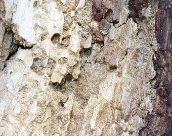 Contemporary Nature Photography - Brighton Bark - fine art print, wood, tree, texture, patterns, close up, modernist home, 8x10
