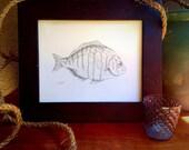 Fish sketch, barred surf perch, original artwork