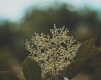 Elderflower in the Night No.01. - Download Nature Photography - DIY Poster - Romantic Instant Printabel Art, Wall Decor - High Quality Photo
