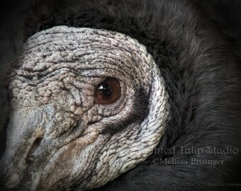 American Black Vulture Closeup Portrait Bird Wildlife Nature, Bird of Prey Carnivore Fine Art Photography Print