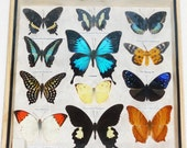 Real 12 Mix Butterfly for sale in wood frame Taxidermy / B01P