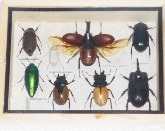 Real Mixed Beetle Cicada Insect Boxed Framed Taxidermy Display Wood Box For Collectibles /S08V