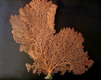 "Sea Fan 13"" soft coral beach decor ocean wedding sea shells unique gifts"