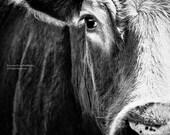 Big Black Angus Cow Very Closeup - Farm Animal - Cattle -Photography Black & White - Home Decor -Fine Art -Canvas Gallery Wrap - Wall Art