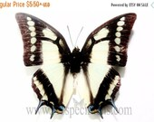 10% OFF SALE Polyura Narcaea Real Insect Butterfly Specimen Taxidermy