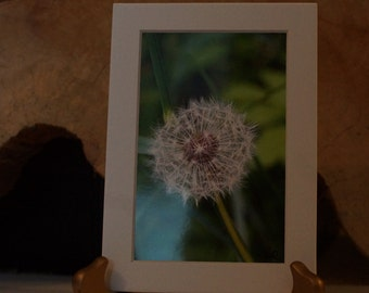 Dandelion flower puff