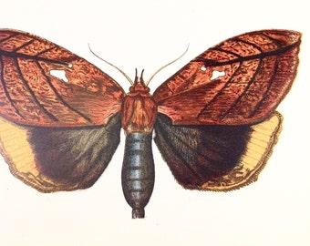Antique colour print moth Gloriana ornata orange butterfly lithograph chromolithograph Lloyds Natural History