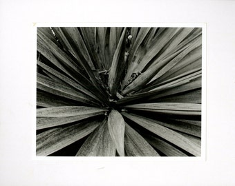 B&W Yucca Film Photograph