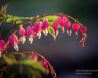 Flower Photography, Pink Bleeding Heart, Spring Time, Fine Art Print, Mother's Day, Healing Art, Fairy Garden, Sweetheart, Gifts for Her