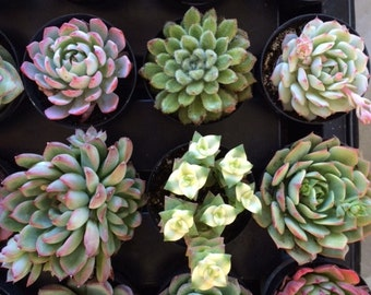 Small Succulent Plant.  You Choose 4. Choose any 4 small succulent plants