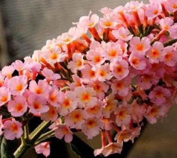 Flutterby Grande 174 Peach Cobbler Butterfly By