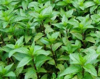 Herb Plant, Spearmint