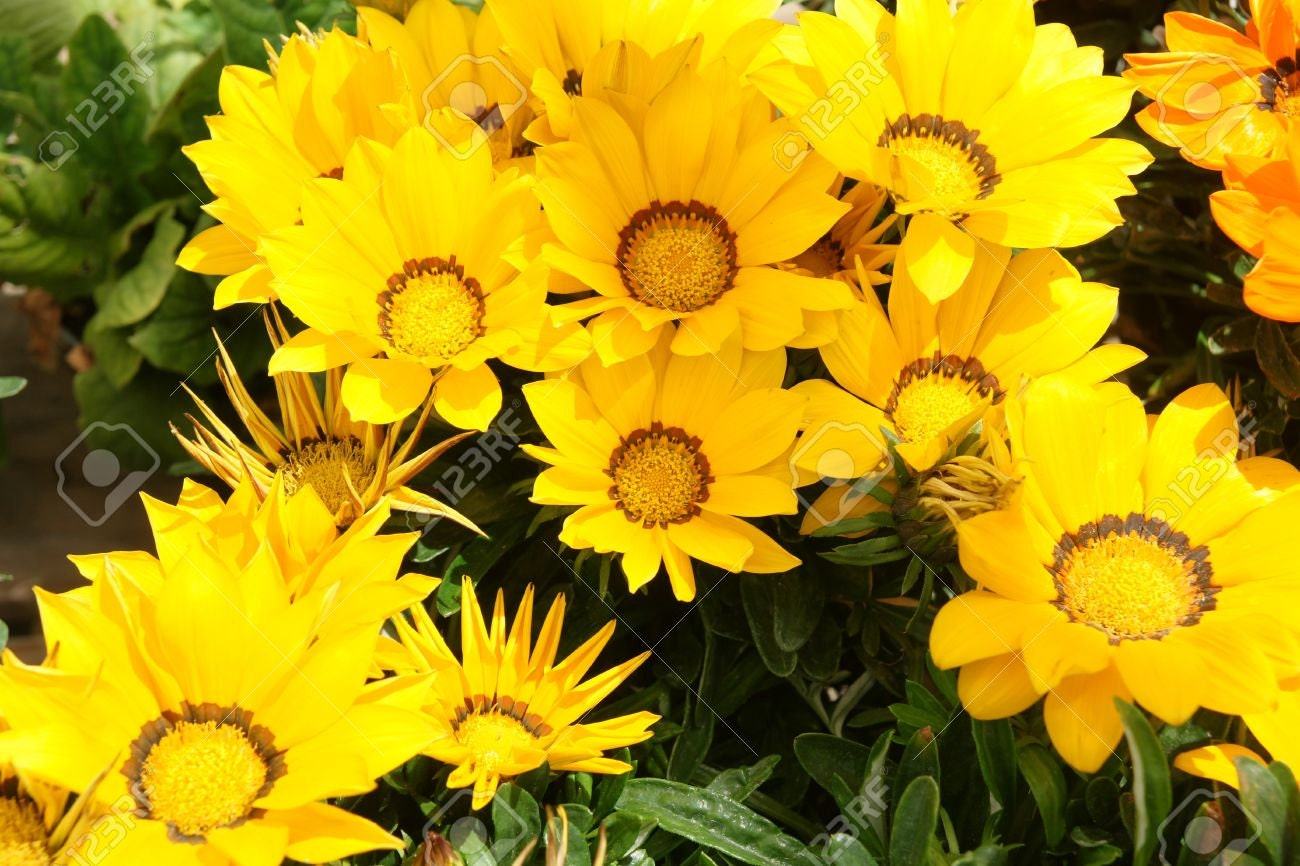 gazania kiss yellow flowers easy to grow perfect for. Black Bedroom Furniture Sets. Home Design Ideas
