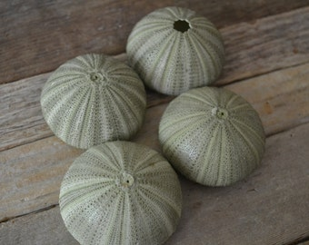Green Sea Urchins 2-3 inches | 4 Pieces