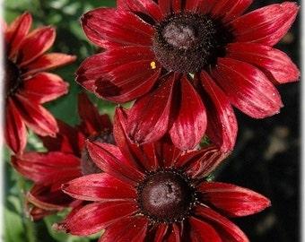 30+Cherry Brandy Rudbeckia / Perennial