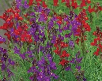 40+ Rhythm & Blues Mix Linaria Licilia / Self Seeding Annual Flower Seeds
