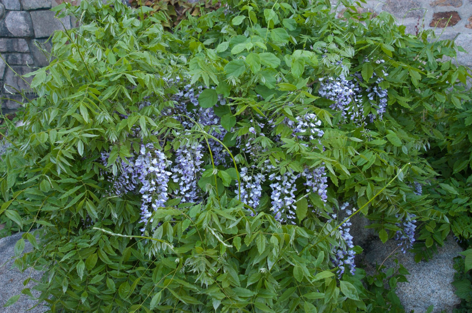 Blue American Wisteria 10 Seeds Rare And Beautiful