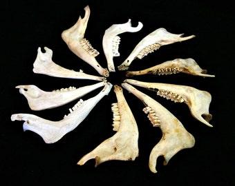 Lot of Animal Lower Jaws , Goat Bones , Creepy Macabre Art Supplies , Gothic Decor , Voodoo Accessories , Real Animal Teeth , Oddities