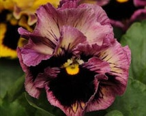 Pansy Frizzle Sizzle-Fluffy Ruffle Raspberry * Seeds
