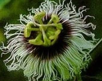 Passiflora Passion Flower Flavicarpa * Seeds