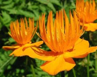 Trollius Golden Queen-Globe Flower * Perennial!! Seeds