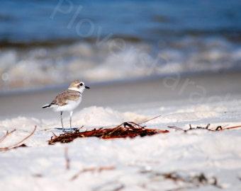 Snowy Plover on Pensacola Beach Photo // Matted Florida Nature Shorebird Photograph Print