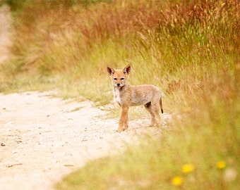 Wildlife Art, Coyote, Woodland Animals, Wildlife Prints, Baby Animal Prints, Nature Photography, Wildlife Photography, Nature Prints