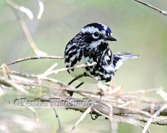 Black and White Warbler Photography | Birding | Passerine | Avian Ornithology | Birder Wall Art | Striped Songbird Photo | Animal Bird Print