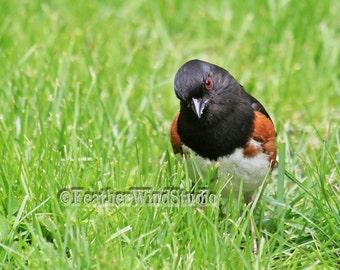 Eastern Towhee Print | Rufous Sided Towhee | Bird Art Photo Gift | Nature Photography | Black Rusty Sparrow | Red Eyed Songbird | Bird Print