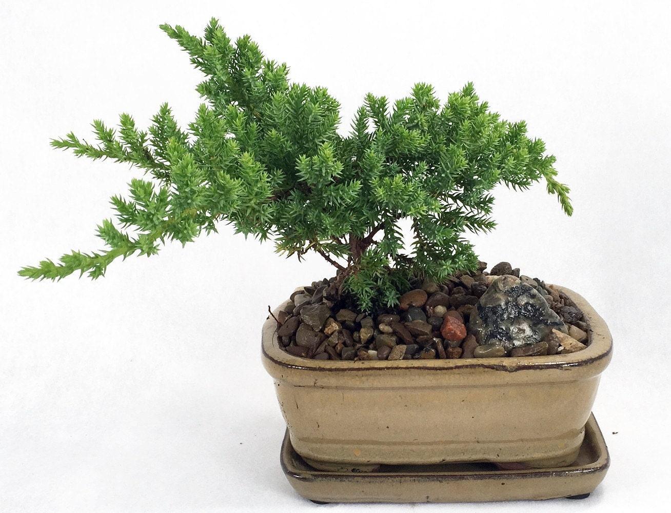 Japanese Juniper Mini Bonsai Plant 6 X 4 X