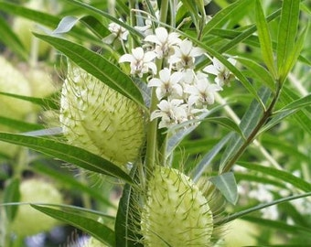 Asclepias physocarpa Gomphocarpus physoca Family Jewels 10 seeds