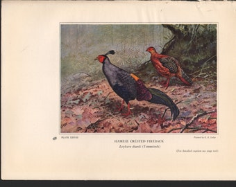 Pheasant print, 1931, Siamese Crested Fireback, painted by C E Lodge, see description for details - PD001878