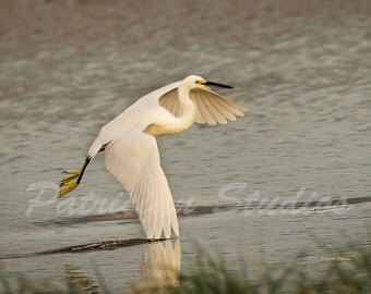 Snowy Egret, Late Cruising
