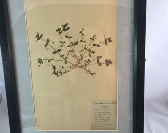 French Antique Botanical Of Dried Flowers