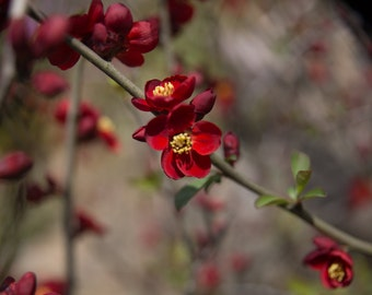 Red Cherry Blossoms in Japan, Photography Living Room Wall Print 11x14 Fine Art Tokyo Blooms Abstract Red, Flowers on Branch, 8x10 Photo